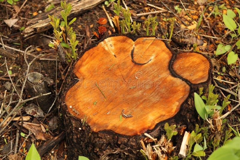Taglierina selvaggia della natura del muschio di legno fotografia stock