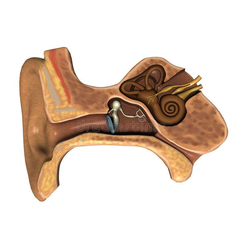 Taglio dell'orecchio illustrazione di stock