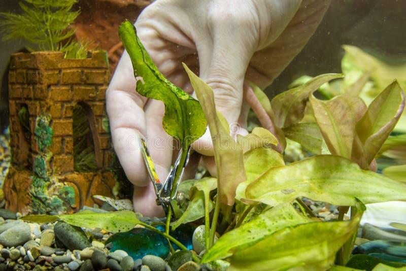 Taglio di vecchia pianta dell'acquario delle tenaglie fotografia stock