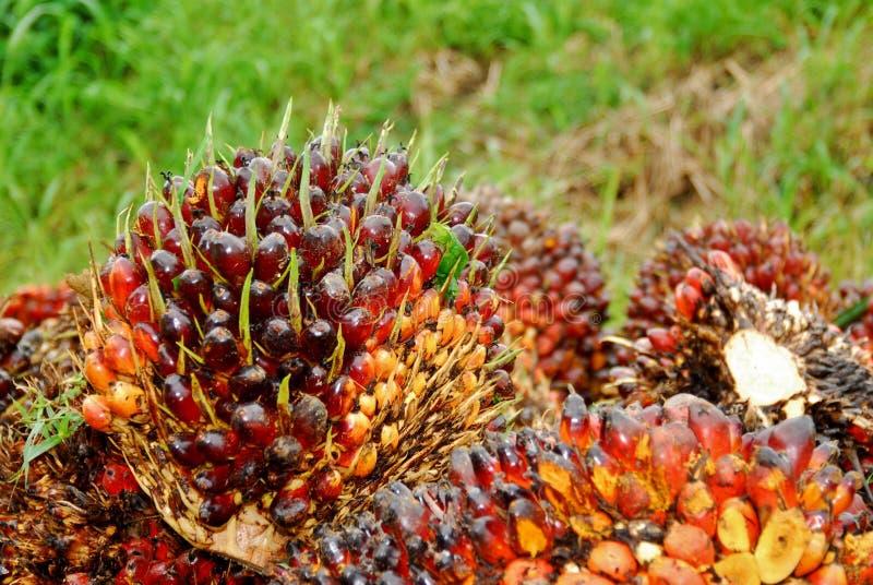 Taglio maturo della frutta della palma da olio fotografia stock libera da diritti