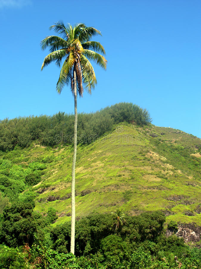 Tahiti-Palme lizenzfreie stockbilder