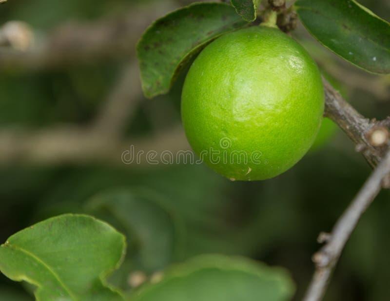 Tahitian或波斯石灰果树栽培在种植园在考艾岛 库存照片
