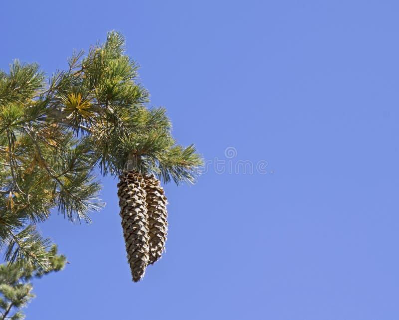 Tahoe的糖在蓝天bakground的杉木锥体 免版税库存图片