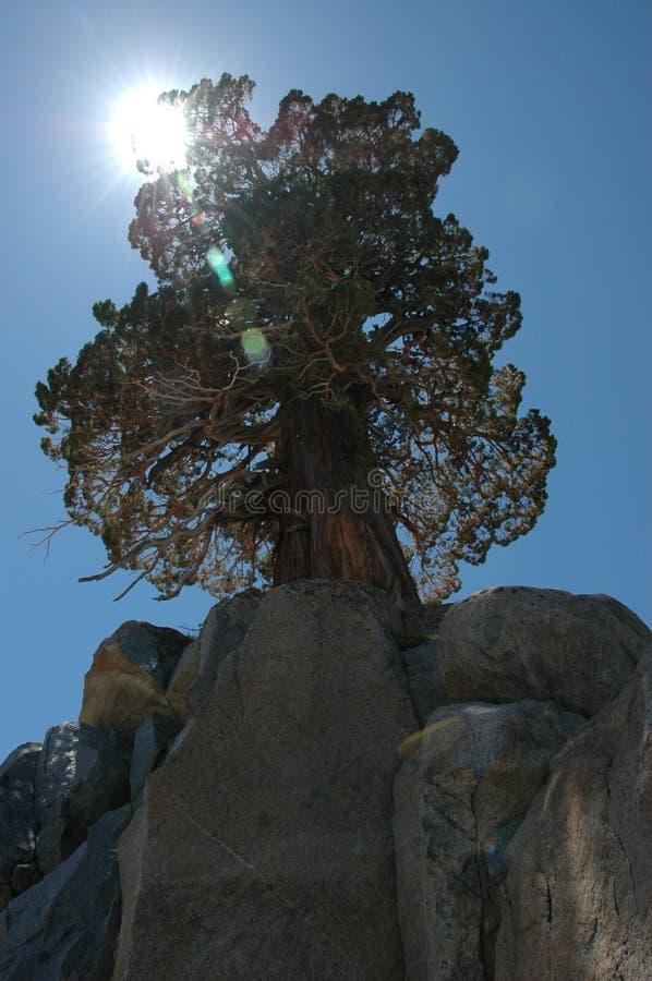 Tahoe Baum im Felsen stockbilder