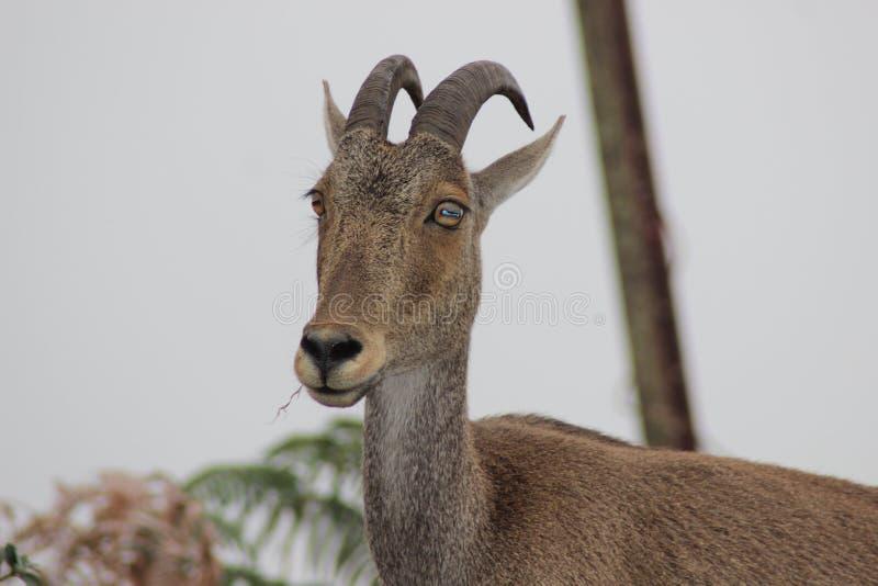 Tahr de Niligiri encontrado em Rajamala, Munnar imagem de stock royalty free