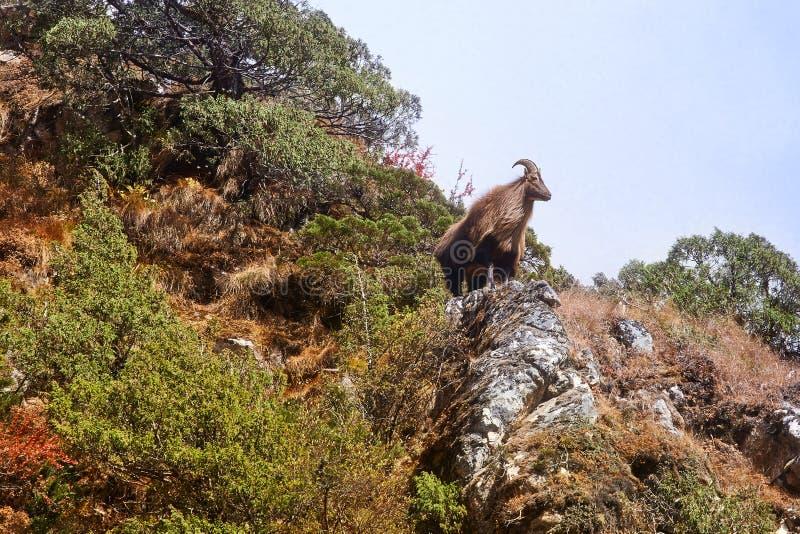 Tahr Himalayan en su hábitat natural, región de Everest fotografía de archivo