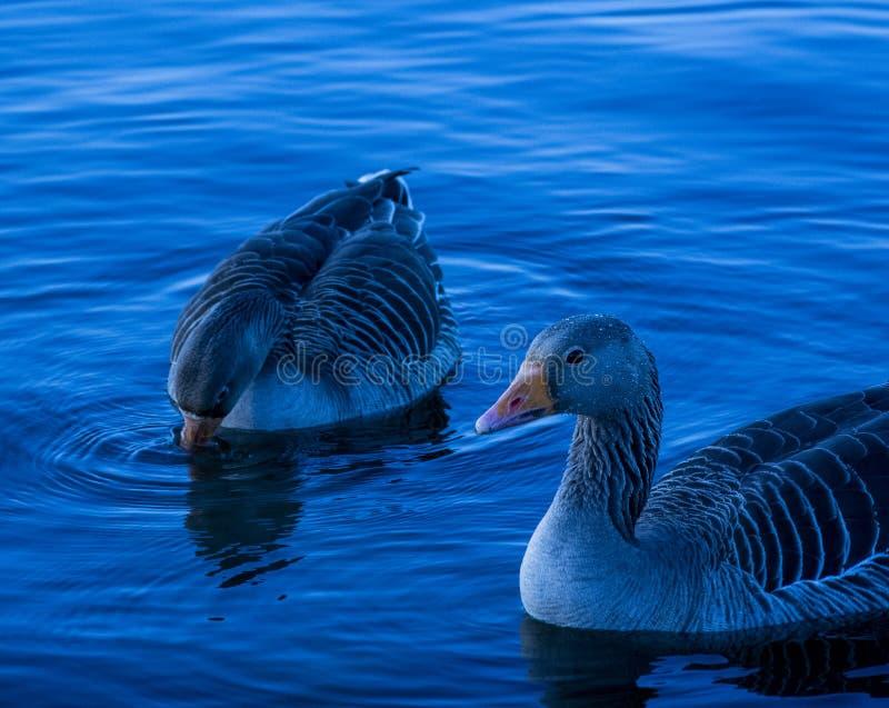 Taiga Bean Geese images stock