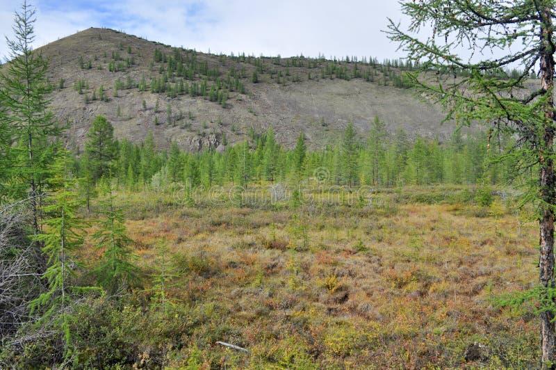 Taiga clairsemé de montagne dans Yakutia images stock