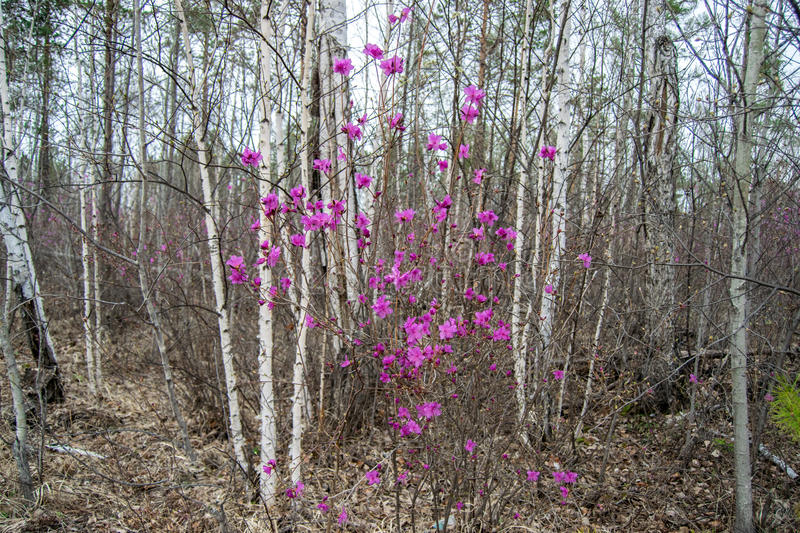 Taiga. Flowering rosemary among birches in the far Eastern taiga stock image