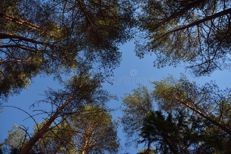 Taiga skog på en solig vårdag fotografering för bildbyråer