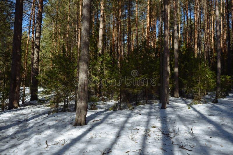 Taiga skog på en solig vårdag arkivbild