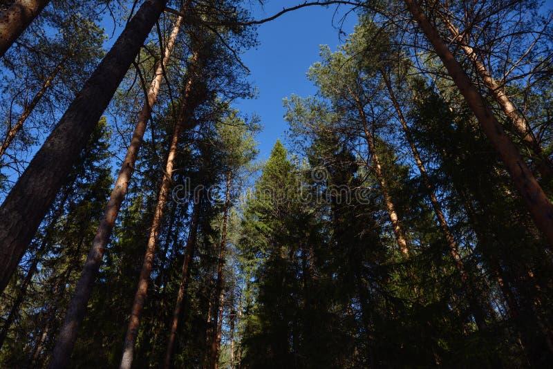 Taiga skog på en solig vårdag royaltyfri fotografi