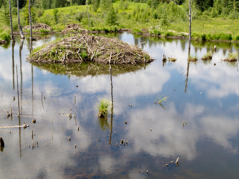 Taiga wetlands beaver lodge Castor canadensis royalty free stock image