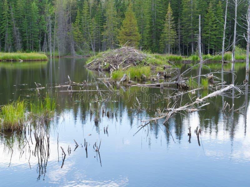 Taiga wetlands beaver lodge Castor canadensis stock images