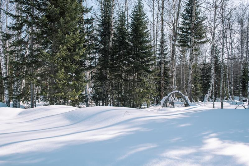 Taiga in the winter. Forest in winter. Closeup of winter forest. Conifers under the snow. S. Iberia forest in winter royalty free stock images