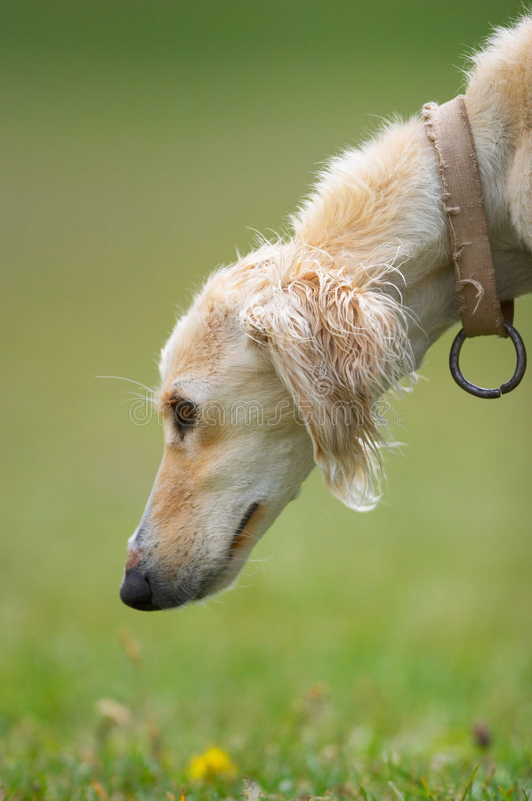 taigan головки собаки borzoi kyrgyz стоковые фото