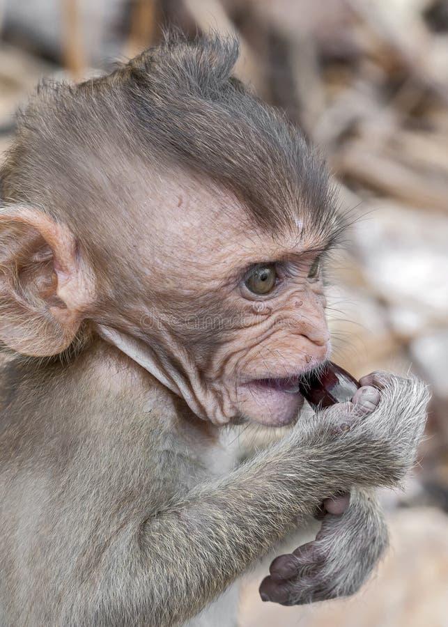 Tailândia, província de Krabi Macacos selvagens nas praias do imagens de stock royalty free