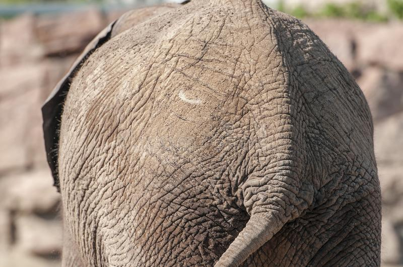 Tail of an African elephant royalty free stock photo