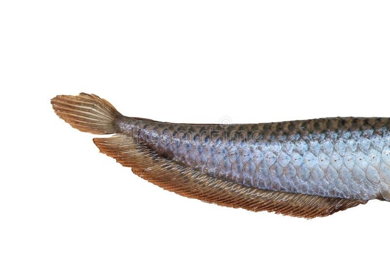 Tail of Arowana fish. (Osteoglossum biccirhosum) isolated on white background stock image