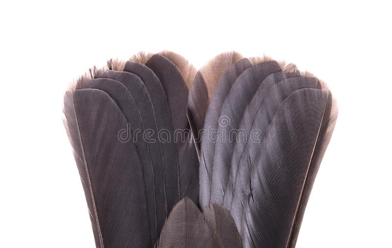 Tail of a dead blackbird isolated stock photo