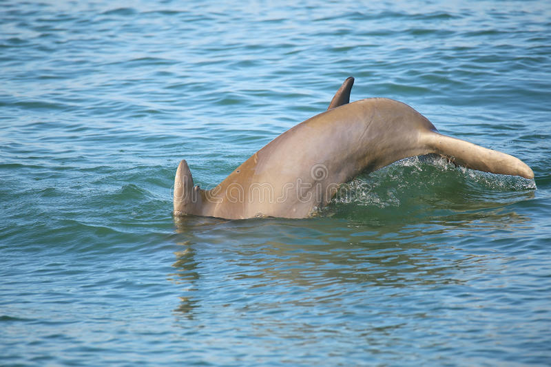 Tail of diving Common bottlenose dolphin. Near Sanibel island in Florida stock photos