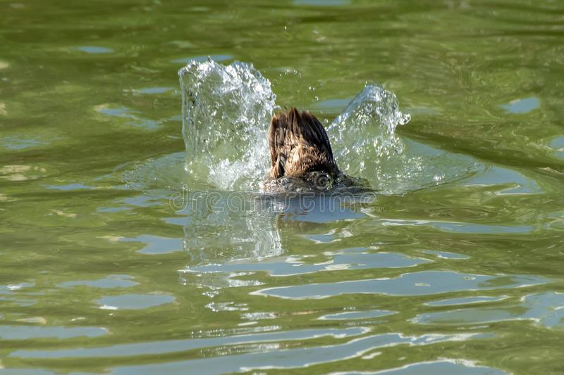 Tail feathers as a duck submerges below the water surface in search of food royalty free stock photography