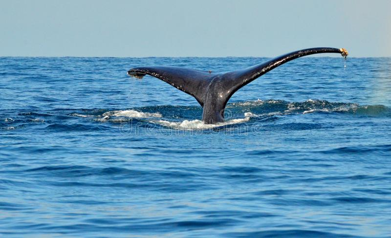 Tail fluke of diving humpback whale stock images