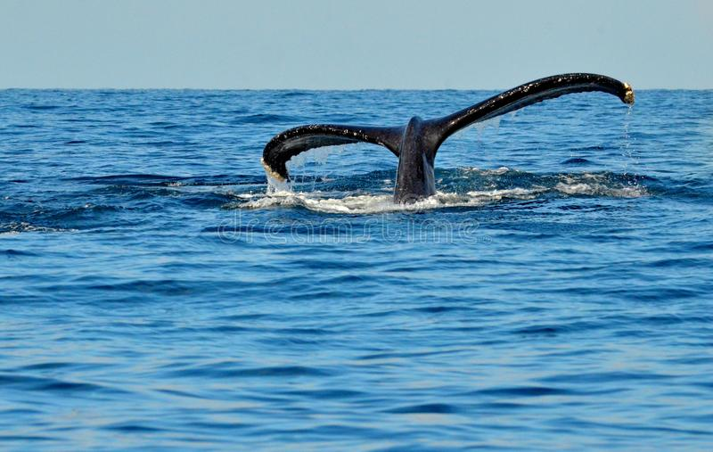 Tail fluke of diving humpback whale. Megaptera novaeangliae off Isla Isabel, Mexico stock photo