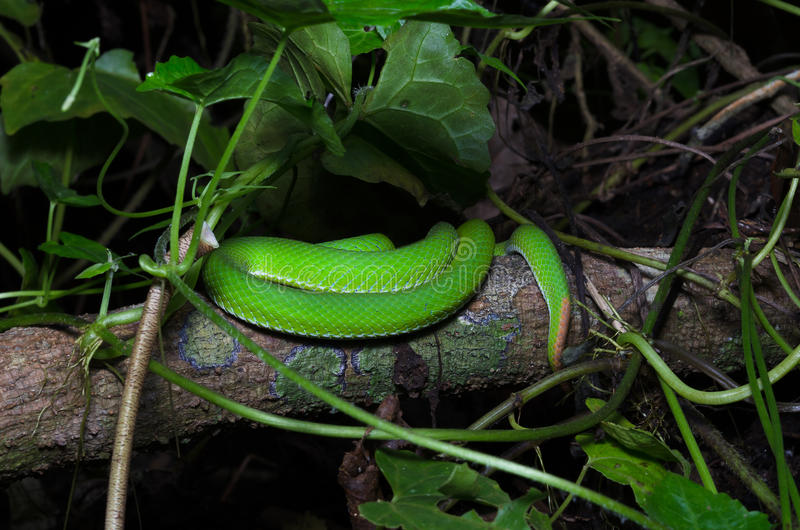 A tail of green snake on the tree stock image