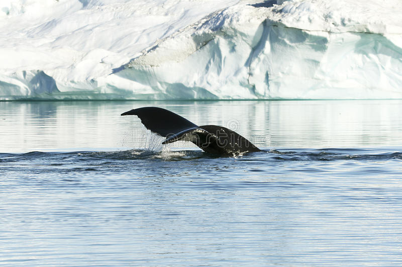Tail of humpback. Tail of a humpback whale (Megaptera novaeangiae) in the high arctic royalty free stock photo