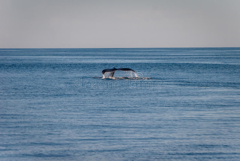 Tail of Humpback whale. In Alaska stock photography