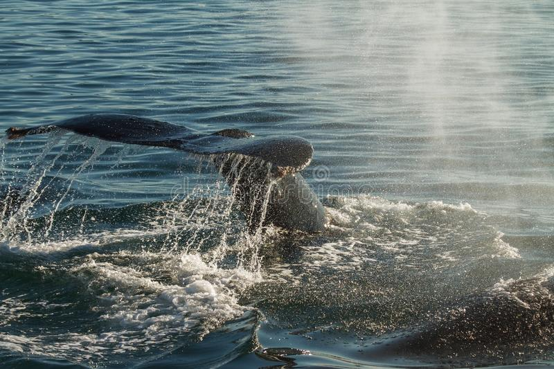 The tail of a Humpback Whale diving. Backlight emphasis all the splas and drops of water royalty free stock images