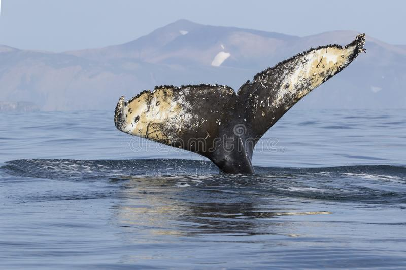 Tail humpback whale diving into the waters of the Pacific Ocean. Against the background of the island of Bering stock images