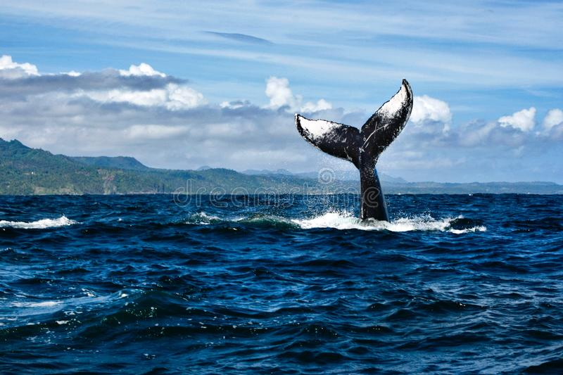 Tail of humpback whale stock photos