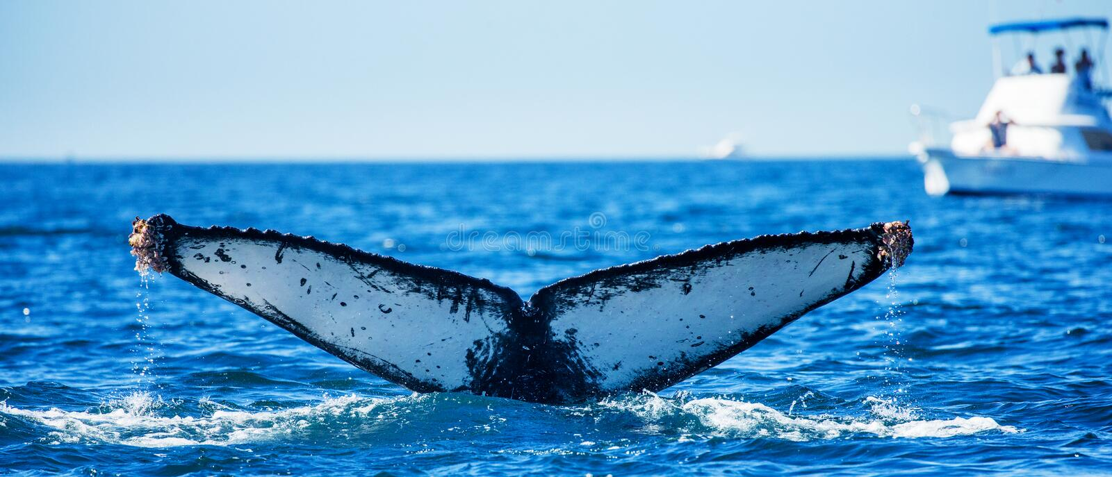 Tail of the humpback whale. Mexico. Sea of Cortez. California Peninsula . An excellent illustration stock photos