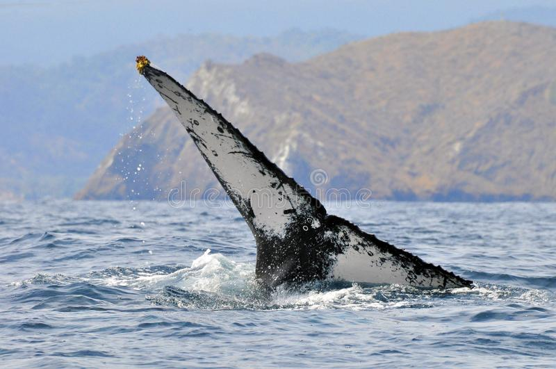 The tail of a humpback whale. Off the coast of Puerto Lopez, in the Manabi Province of Ecuador stock images