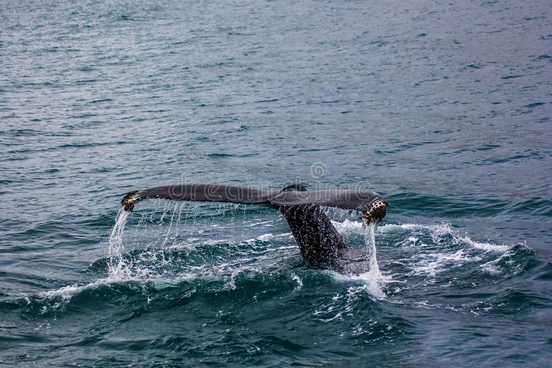 A tail of a large fish in the water stock photos