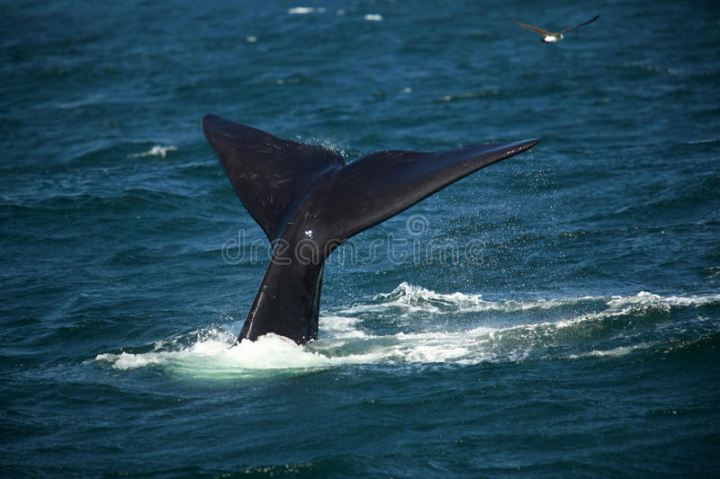 Tail over the water of a diving southern smooth whale royalty free stock photo
