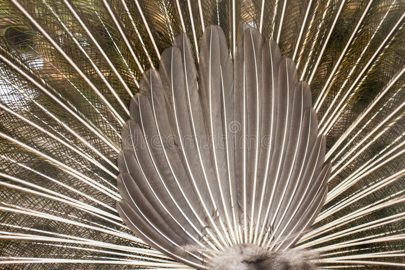 Tail of peacock stock photos