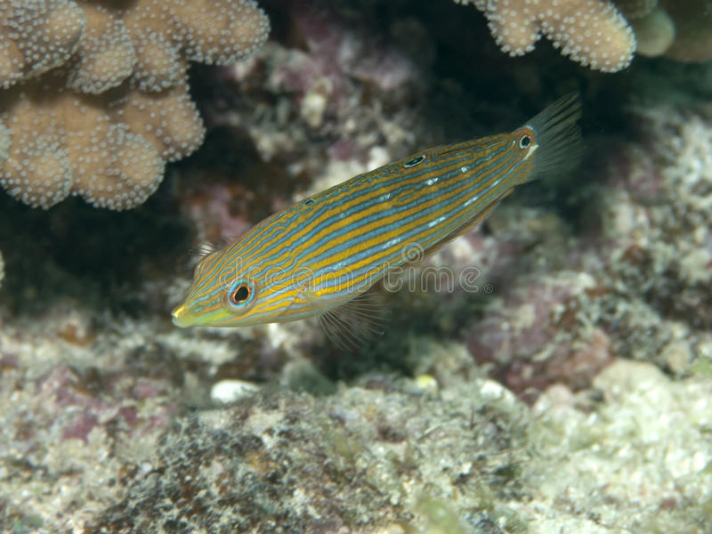 Tail-spot wrasse. In Bohol sea, Phlippines Islands royalty free stock images