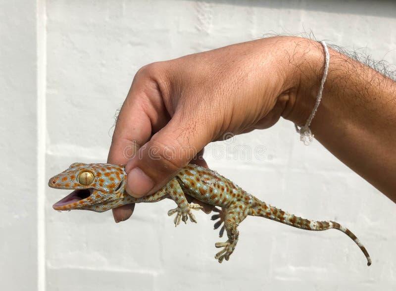 Tailandés de la salamandra fotos de archivo