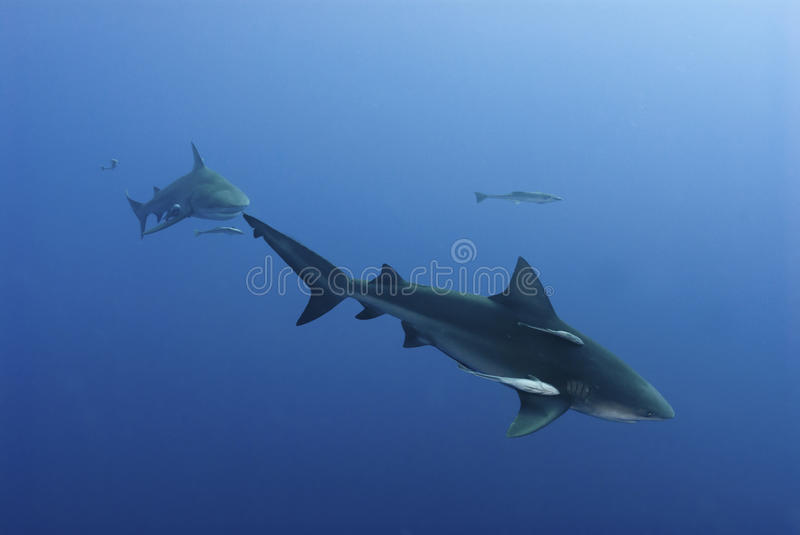 Download Tailed stock image. Image of africa, mozambique, sharks - 22912015