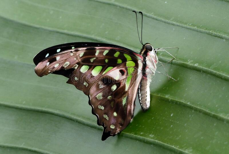 Tailed Jay.(Graphium agamemnon) royalty free stock images