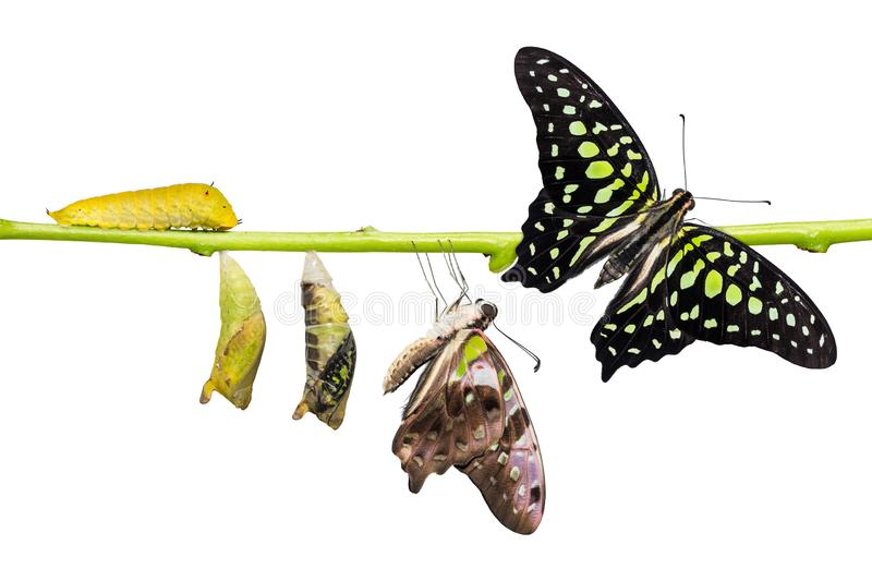 Tailed Jay Graphium agamemnon butterfly life cycle. From caterpillar to pupa and its adult form, change and transformation concept, isolated on white stock image