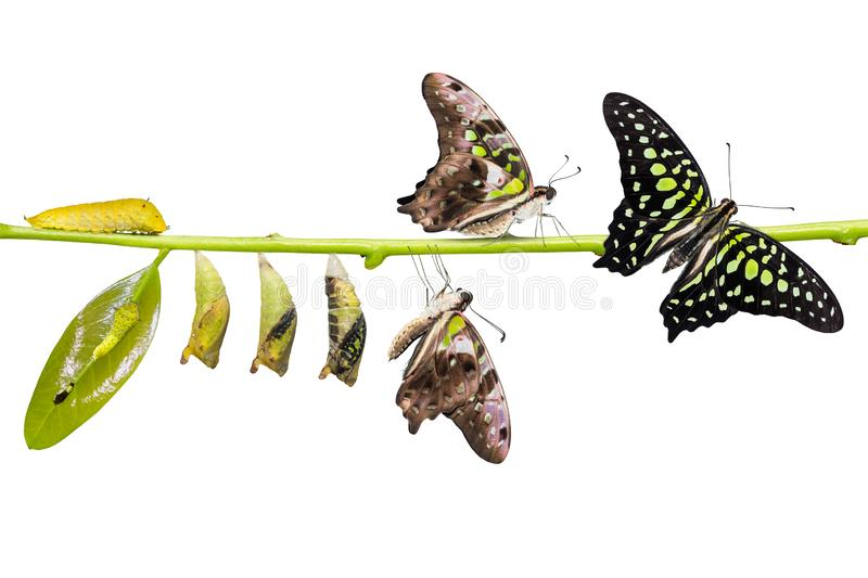 Tailed Jay Graphium agamemnon butterfly life cycle. From caterpillar to pupa and its adult form, change and transformation concept, isolated on white royalty free stock photography