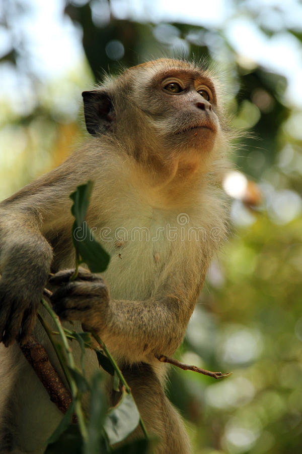 tailed lång macaque royaltyfria foton