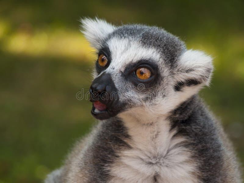 Tailed lemur