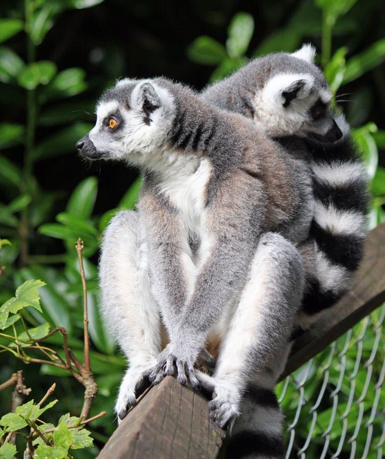 tailed lemurcirkel royaltyfri bild