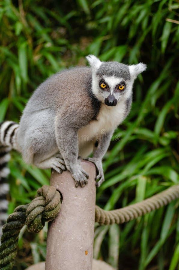 tailed lemurcirkel arkivbilder