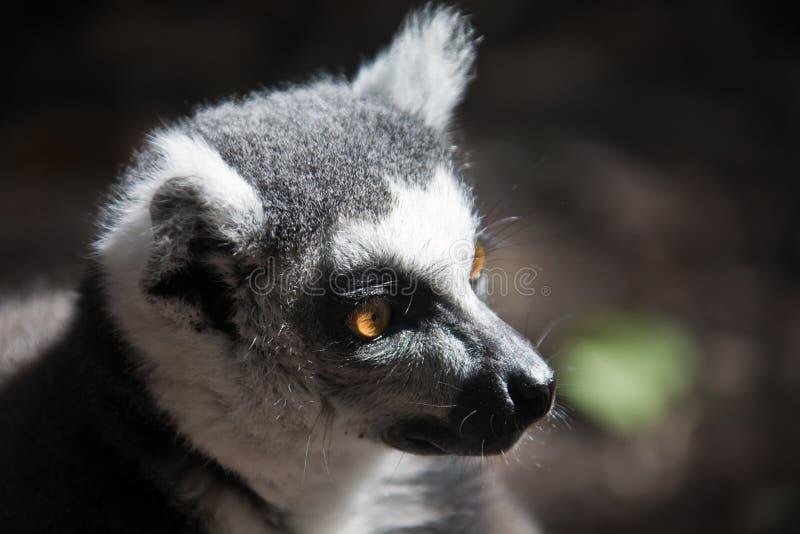tailed lemurcirkel Head kattmakicloseup Maki maki, royaltyfria bilder